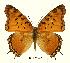 (Charaxes jahlusa argynides - BC-EV0447)  @14 [ ] Unspecified (default): All Rights Reserved  Unspecified Unspecified