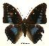 (Charaxes imperialis paulinus - BC-EV0448)  @13 [ ] Unspecified (default): All Rights Reserved  Unspecified Unspecified
