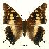 (Charaxes guderiana rabaiensis - BC-EV0452)  @14 [ ] Unspecified (default): All Rights Reserved  Unspecified Unspecified