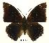 (Charaxes mixtus mixtus - BC-EV0461)  @13 [ ] Unspecified (default): All Rights Reserved  Unspecified Unspecified
