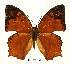 (Charaxes pleione congoensis - BC-EV0464)  @14 [ ] Unspecified (default): All Rights Reserved  Unspecified Unspecified