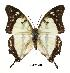 (Charaxes ehmckei - BC-EV0481)  @14 [ ] Unspecified (default): All Rights Reserved  Unspecified Unspecified