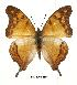 (Charaxes zoolina zoolina - BC-EV0485)  @14 [ ] Unspecified (default): All Rights Reserved  Unspecified Unspecified