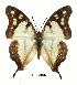 (Charaxes zoolina zoolina - BC-EV0487)  @14 [ ] Unspecified (default): All Rights Reserved  Unspecified Unspecified