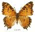 (Charaxes jahlusa - BC-EV0491)  @14 [ ] Unspecified (default): All Rights Reserved  Unspecified Unspecified