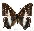(Charaxes etheocles tan01 - BC-EV0496)  @14 [ ] Unspecified (default): All Rights Reserved  Unspecified Unspecified