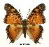 (Charaxes jahlusa rwandensis - BC-EV0499)  @13 [ ] Unspecified (default): All Rights Reserved  Unspecified Unspecified