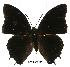 (Charaxes etheocles - BC-EV0507)  @14 [ ] Unspecified (default): All Rights Reserved  Unspecified Unspecified