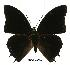 (Charaxes etheocles con01 - BC-EV0510)  @14 [ ] Unspecified (default): All Rights Reserved  Unspecified Unspecified