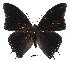 (Charaxes virilis - BC-EV0520)  @14 [ ] Unspecified (default): All Rights Reserved  Unspecified Unspecified