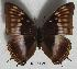 (Charaxes ochracea - BC-EV0526)  @14 [ ] Unspecified (default): All Rights Reserved  Unspecified Unspecified