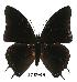 (Charaxes ochracea - BC-EV0538)  @14 [ ] Unspecified (default): All Rights Reserved  Unspecified Unspecified