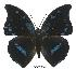 (Charaxes mycerina viettei - BC-EV0542)  @14 [ ] Unspecified (default): All Rights Reserved  Unspecified Unspecified