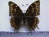 (Charaxes ochracea f.seriata - BC-Turl-0189)  @11 [ ] Unspecified (default): All Rights Reserved  Unspecified Unspecified
