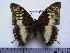 (Charaxes ochracea f.ochreata - BC-Turl-0190)  @11 [ ] Unspecified (default): All Rights Reserved  Unspecified Unspecified