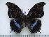 (Charaxes doubledayi - BC-Turl-0245)  @14 [ ] Unspecified (default): All Rights Reserved  Unspecified Unspecified