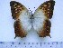 (Charaxes fulvescens maesseni - BC-Turl-0249)  @13 [ ] Unspecified (default): All Rights Reserved  Unspecified Unspecified