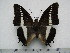 (Charaxes brutus angustus - BC-Turl-0315)  @14 [ ] Unspecified (default): All Rights Reserved  Unspecified Unspecified