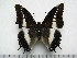 (Charaxes antiquus - BC-Turl-0321)  @14 [ ] Unspecified (default): All Rights Reserved  Unspecified Unspecified