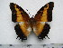 (Charaxes pollux annamariae - BC-Turl-0325)  @11 [ ] Unspecified (default): All Rights Reserved  Unspecified Unspecified