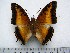(Charaxes pollux gazanus - BC-Turl-0327)  @11 [ ] Unspecified (default): All Rights Reserved  Unspecified Unspecified
