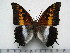 (Charaxes ansorgei ansorgei - BC-Turl-0329)  @14 [ ] Unspecified (default): All Rights Reserved  Unspecified Unspecified