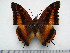 (Charaxes lucyae lucyae - BC-Turl-0339)  @14 [ ] Unspecified (default): All Rights Reserved  Unspecified Unspecified