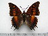 (Charaxes tectonis nebularum - BC-Turl-0348)  @11 [ ] Unspecified (default): All Rights Reserved  Unspecified Unspecified