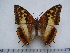 (Charaxes macclounii - BC-Turl-0389)  @13 [ ] Unspecified (default): All Rights Reserved  Unspecified Unspecified