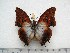(Charaxes lactetinctus ungemachi - BC-Turl-0393)  @14 [ ] Unspecified (default): All Rights Reserved  Unspecified Unspecified