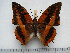 (Charaxes cynthia sabulosus - BC-Turl-0399)  @14 [ ] Unspecified (default): All Rights Reserved  Unspecified Unspecified