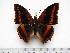 (Charaxes lucretius maximus - BC-Turl-0403)  @14 [ ] Unspecified (default): All Rights Reserved  Unspecified Unspecified