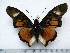 (Charaxes acraeoides - BC-Turl-0452)  @16 [ ] Unspecified (default): All Rights Reserved  Unspecified Unspecified