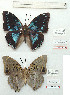 (Charaxes schoutedani - BC-EV1140)  @11 [ ] Unspecified (default): All Rights Reserved  Unspecified Unspecified