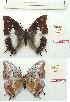(Charaxes alpinus - BC-EV1172)  @11 [ ] Unspecified (default): All Rights Reserved  Unspecified Unspecified