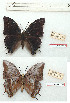 (Charaxes karkloof - BC-EV1194)  @11 [ ] Unspecified (default): All Rights Reserved  Unspecified Unspecified
