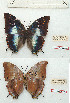 (Charaxes karkloof - BC-EV1195)  @11 [ ] Unspecified (default): All Rights Reserved  Unspecified Unspecified