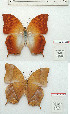 (Charaxes torbeni - BC-EV1207)  @11 [ ] Unspecified (default): All Rights Reserved  Unspecified Unspecified