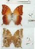 (Charaxes torbeni - BC-EV1210)  @11 [ ] Unspecified (default): All Rights Reserved  Unspecified Unspecified