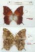 (Charaxes bertrami - BC-EV1214)  @11 [ ] Unspecified (default): All Rights Reserved  Unspecified Unspecified