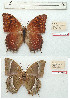 (Charaxes balfouri - BC-EV1215)  @11 [ ] Unspecified (default): All Rights Reserved  Unspecified Unspecified