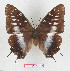 (Charaxes etesipe - BC-EV1279)  @15 [ ] Unspecified (default): All Rights Reserved  Unspecified Unspecified