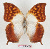 (Charaxes varanes varanes - BC-EV1280)  @11 [ ] Unspecified (default): All Rights Reserved  Unspecified Unspecified