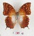 (Charaxes bertrami - BC-EV1282)  @11 [ ] Unspecified (default): All Rights Reserved  Unspecified Unspecified