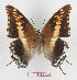 (Charaxes achaemenes achaemenes - BC-EV1284)  @14 [ ] Unspecified (default): All Rights Reserved  Unspecified Unspecified