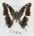 (Charaxes achaemenes achaemenes - BC-EV1285)  @14 [ ] Unspecified (default): All Rights Reserved  Unspecified Unspecified