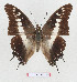 (Charaxes achaemenes - BC-EV1288)  @14 [ ] Unspecified (default): All Rights Reserved  Unspecified Unspecified
