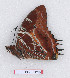 (Charaxes lequeuxi - BC-EV1292)  @11 [ ] Unspecified (default): All Rights Reserved  Unspecified Unspecified
