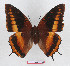 (Charaxes eudoxus lequeuxi - BC-EV1294)  @14 [ ] Unspecified (default): All Rights Reserved  Unspecified Unspecified