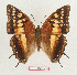 (Charaxes boueti rectans - BC-EV1326)  @13 [ ] Unspecified (default): All Rights Reserved  Unspecified Unspecified